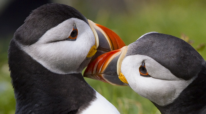 Puffins billing and cooing, etc